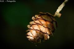 Tannenzapfen / Pinecone (R.O. - Fotografie) Tags: brown tree green nature up closeup lumix close bokeh natur panasonic grün braun pinecone baum fz 1000 dmc tannenzapfen tanne stausee neuenheerse fz1000 dmcfz1000