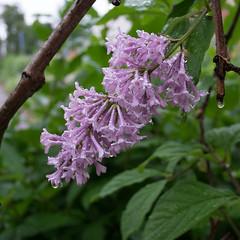 17062016-DSCF4357L (I Ring) Tags: flower nature juni fuji sweden syren lilac fujifilm common franais lilas vulgaris 2016 syringa commun
