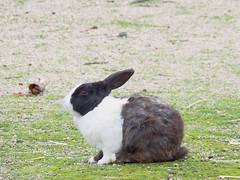 B6250552 (VANILLASKY0607) Tags: rabbit bunny bunnies nature animal japan photo wildlife wildanimal hydrangea rabbits rabbitisland wildrabbit okunoshima