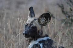 10075520 (wolfgangkaehler) Tags: africa portrait closeup nationalpark african wildlife predator zambia africanwilddog southernafrica predatory 2016 africanhuntingdog zambian southluangwanationalpark africanwilddoglycaonpictus