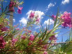 Pink and Purple Flowers Against Blue Sky with White Clouds... (chicbee04) Tags: pink flowers arizona sky white clouds interesting purple tucson bluesky unexpected sonorandesert photostream whiteclouds strangeeffect crenelations trumpetflowers pinkandpurpleflowers bellshapedflowers orchestrations pinkandpurpleflowersagainstblueskywithwhiteclouds tintinnabulations unusualdarkstreakinsky realorsensoreffect nativedeserttree