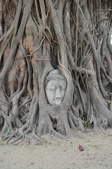 Head of Buddha (matejcek) Tags: tree head buddha budha buda
