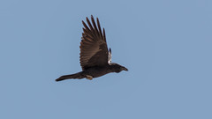 Raven (Nick_Baker) Tags: california bird inflight unitedstates twentyninepalms corvuscorax commonraven oasisofmara