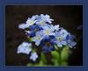 Forget - Me - Not / Donnerstagsblümchen; Explored 09.05.2013, # 393 (Harald52) Tags: natur pflanze quintaflower blüte vergissmeinnicht flowerthequietbeauty donnerstagsblümchen