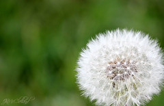 just dandy (ThroughMyEyes_JKM) Tags: white green outdoors weed dandelion seeds