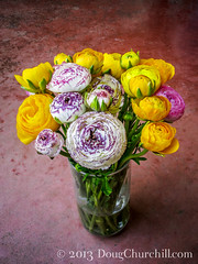 1852  ranunculus (Doug Churchill) Tags: flowers flower love beautiful closeup loving blossom blossoms ranunculus passion bloom romantic loves blooms closeups bouquets passionate romantics passions 52weeks highangleview highangleviews canong12