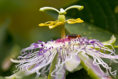 Beetle-and-Passionflower (Man In The Woods) Tags: macro insect beetle arkansas passionflower ozarks