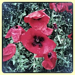 Poppies (6luciole) Tags: flower fleur field poppy poppies champ coquelicot pavot uploaded:by=flickrmobile flickriosapp:filter=aardvark aardvarkfilter