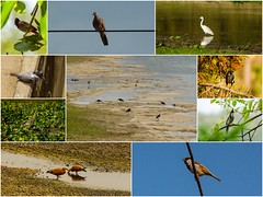 Birds (abkhanal) Tags: heron birds collage duck dove sparrow egret bulbul mynah