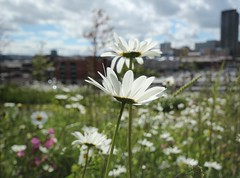 The Urban Flower Meadow (Derbyshire Harrier) Tags: city flowers summer urban sheffield centre southyorkshire 2013
