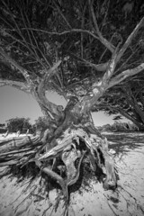 Abstract on the beach (daniele paccaloni) Tags: california tree beach arbol playa carmel albero spiaggia voigtlanderheliar1245