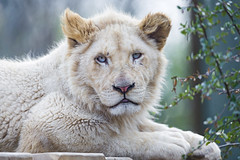 Madiba looking at me from his platform... (Tambako the Jaguar) Tags: wood wild portrait white france cute male face cat zoo big nikon platform lion relaxing vegetation lying lorraine d4 amnéville