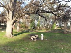 Lucy, Shepo and Punchkin (Rayya The Vet) Tags: dog goldenretriever vet canine australianshepherd geriatric dogwalk fostering whippetcross vetpets