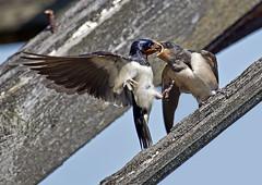 Swallow-feed-2_6734 (Peter Warne-Epping Forest) Tags: bird birds swallow barnswallow hirundorustica avianexcellence