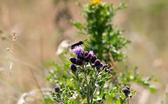 Butterfly 1 (browny_2255) Tags: wild summer butterfly meadow insects damsel uly wiggisland