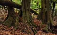 Eucryphia moorei (~Jek~) Tags: trunk monga eucryphia eucryphiaceae arfp monganationalpark eucryphiamoorei vrfp nswrfp cooltemperatearf