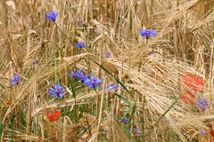 Summer Field (ivlys) Tags: summer field barley germany sommer feld poppy rohrbach cornflower kornblume odenwald mohnblume abigfave flickrdiamond ivlys
