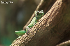 under observation (Dirk Hoffmann Fotografie) Tags: nature animal zoo echse reptil lacertilia
