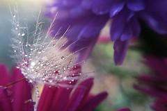 Soft Summer Wish (indiadawn) Tags: pink dewdrops purple lavender waterdrops waterdroplets flowerpetals iphonemacro uploaded:by=flickrmobile flickriosapp:filter=nofilter