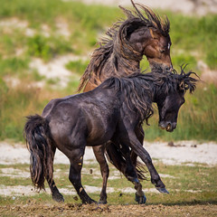 Boys Will Be Boys (jeff_a_goldberg) Tags: horse canada novascotia nationalgeographic wildhorse parkscanada loh sableisland feralhorse fishermansharbour sableislandhorse sableislandpony sableislandnationalparkreserve