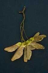 The Keys To Life 02 (cas lad) Tags: life trees keys seeds treeseeds caslad keystolife seedkeys