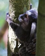 Mono Macaco - Rio de Janeiro (alobos life) Tags: brazil mountain rio brasil de monkey mono janeiro sony natura sugar da macaco pan loaf pão azucar tijuca azúcar foresta açúcar nex5r