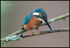 Kingfisher (Alcedo atthis) (Col-Page) Tags: avianexcellence