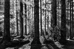 Morning Splendor (StefanB) Tags: 1235mm 2013 california em5 forest geotag monochrome outdoor tree flvonmirikr bw light rays sun morning splendor trees shadows patrickspoint statepark