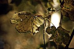 Marple Leaf (Appaz Photography☯) Tags: plants tree nature leaves denmark natur sycamore blade concepts jylland acerpseudoplatanus ahorn silkeborg dalsvinget skovenveddalsvinget ahorntræ