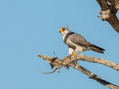 Grey Falcon (Falco hypoleucos) (David Cook Wildlife Photography) Tags: australia nsw sturtnationalpark greyfalcon kookr falcohypoleucos davidcookwildlifephotography sonyslta77v ©2013davidcookwildlifephotographyallrightsreserved sonysal300f28g2 sonysaltc14