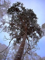 Winter pine (KamalaKala) Tags: winter snow tree pine lumi talvi puu mnty 200910 flickrandroidapp:filter=none