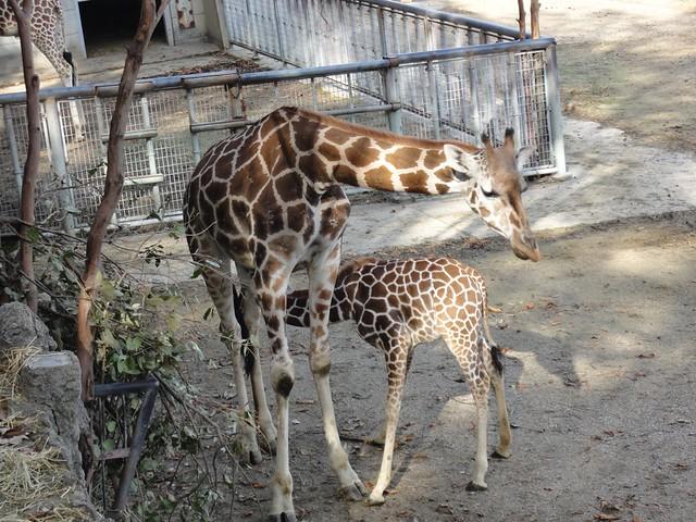 キリンの赤ちゃんもいて、お母さんにお乳をもらっていました。|名古屋市東山動植物園