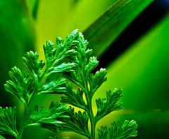 Shade's of Green. (Omygodtom) Tags: garden green shadow wild fern macro bokeh autumn fall rain nature tamron tamron90mm nikon d7000 dk7 dof