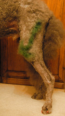 46/52_2 The Correct Leg (The Pack) Tags: dog green silver tag leg poodle arrow standard standardpoodle presurgery pinktoenails 52weeksfordogs