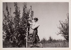 Picking pears, probably in the Adelaide Hills (undated) (pellethepoet) Tags: man fruit pears snapshot australia orchard photograph ladder southaustralia peartree adelaidehills pickingfruit fruitpicker