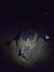p5281024 (Mr. Pi) Tags: france beach animals turtle reptiles frenchguiana