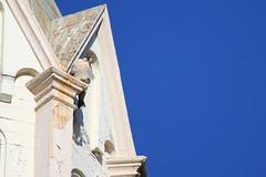 Peregrine Falcon Perched 4 (fredhosley) Tags: november bird church nature canon ma wildlife massachusetts raptor 7d falcon mass peregrine haverhill 2013 100400mml