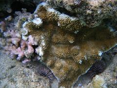 Snorkeling at Shark's Cove (zodia81) Tags: ocean sea fish hawaii underwater snorkel oahu snorkeling northshore tropical seaurchin sharkscove