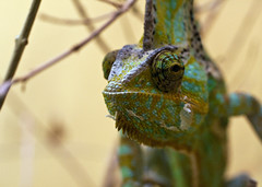 "Veiled chameleon • <a style=""font-size:0.8em;"" href=""http://www.flickr.com/photos/30765416@N06/11393021875/"" target=""_blank"">View on Flickr</a>"