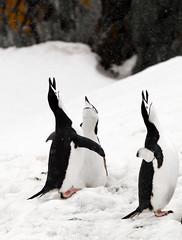 chinstrap penguin Half Moon Island (Michael Leggero) Tags: winter snow bird ice nature animals landscape penguin wildlife south antarctica southern chinstrap halfmoonisland coldtemperature michaelleggero
