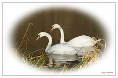 ..ein Paar! (peterphot) Tags: wildlife natur swans teich januar schwne mittelsachsen