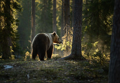 Bear in the woods (hairyduck) Tags: bear finland russia