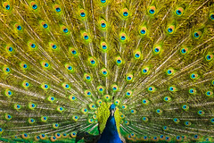 [030-365] Pavo cristatus (Snapitup) Tags: color pfau 365daysproject
