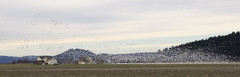 distance (SusanCK) Tags: geese snowgeese skagitvalleywashington susancksphoto