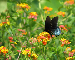 Pipevine swallowtail in Miss Huff (Vicki's Nature) Tags: flowers blue field canon butterfly georgia colorful dof bokeh ngc dairy lantana sweep s5 ready2 ruleofthirds pipevineswallowtail gamewinner 6307 vickisnature pregamewinner pregamesweepwinner gamesweepwinner returnngc game2ndchooses readygamex2 gameruleofthirds vision:outdoor=0803 vision:plant=0926 vision:flower=0549 pregamesummer
