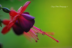 Fuchsia (Terezaki ✈) Tags: pink light plant flower color macro green nature earings closeup geotagged photography photo nikon day purple searchthebest d70 bokeh details fuchsia hellas athens explore greece tamron pictureperfect naturesfinest flowerscape ncg location4 100faves 150favs 50faves 200faves 100favs 200favs fantasticflower anawesomeshot flickrdiamond macromarvels theperfectphotographer dancingballerina
