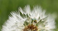 lost (Alex Verweij) Tags: macro alex canon bug insect lost 100mm dandelion april 2014 paardebloem verdwaald verweij