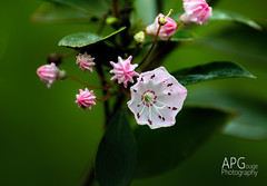 Kalmia Bloom, Hitchcock Woods, 5/2/14 (APGougePhotography) Tags: flowers mountain detail woods nikon south clarity carolina bloom hitchcock laurel aiken topaz d600 kalmia denoise topazlabs
