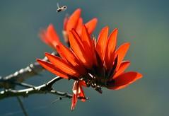 রক্তমন্দার (Raktamandar ) Botanical name :Erythrina stricta (Sougata2013) Tags: orange india flower tree nikon erythrina mandi himachalpradesh nikond3200 stricta erythrinastricta raktamandar corkycoraltree রক্তমন্দার himachalspring