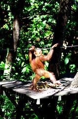 shy orangutan2